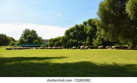 Herd of sheep on grazing