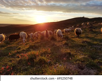 A herd of sheep on a hill. In the rays of sunset. Sheep come down from the mountain. Hills of turkey. Wild nature of Turkey. Sunset in the field. Sheep graze.