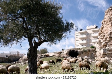 Herd of sheep on the Mount of Olives