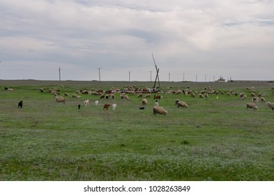 herd of sheep on the pasturelands in green spring steppe Manych-Gudilo, Kalmykia