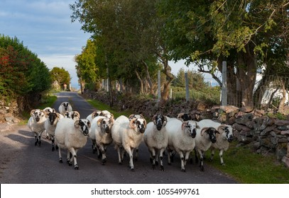 herd of sheep on the road in County Kerry, Ireland