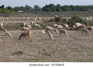 A herd of sheep on a savanna in Phan Rang, Ninh Thuan, Viet Nam.