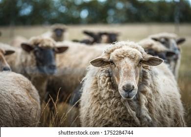 a herd of sheep on a wide landscape scene