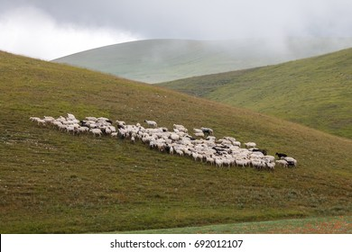 An herd of sheep pasturing on a meadow near Castelluccio di Norcia