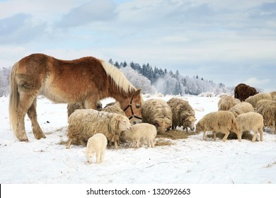 Herd of sheep skudde and horse haflinger eat the hay meadow covered with snow. Winter on the farm.