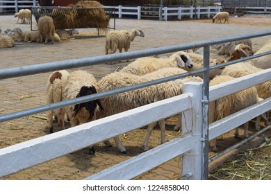 Herd of sheep in the stall
