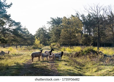 Herd of sheep standing on a dirt road  in the morning sun