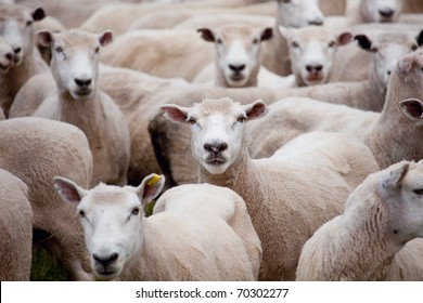 A herd of sheep staring at the camera/Herd of Sheep