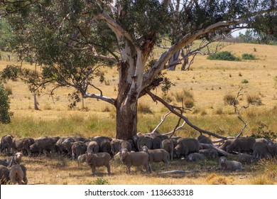 Herd of Sheep Under a Tree