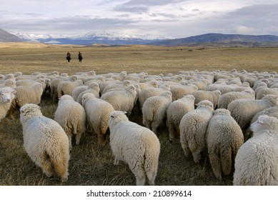 Herd of sheep in the vast meadow