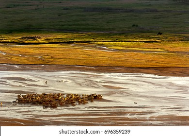 Herd of sheep walking on the shallow river