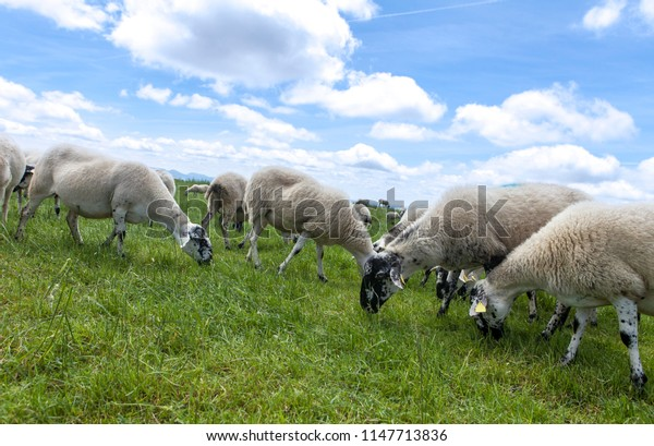 herd of sheeps grazing on the top of the hill