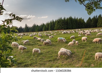 Herd of sheeps in mountains. Sheep milk for sheep cheese and butter.