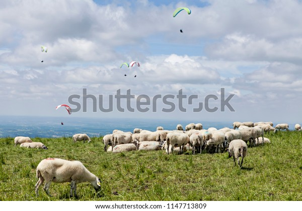 herd of sheeps and paraglading