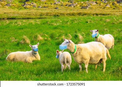 herd of sheeps with surgical mask. Concept of herd immunity, conformism and social distancing for COVID-19 pandemic outbreak. New Coronavirus SARS-CoV-2 infections in animals.