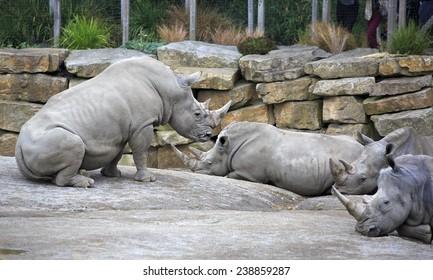 Herd of Southern White Rhinoceros. Oldest zoos in Europe. Republic of Ireland.
