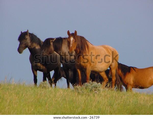 Herd of Spanish Mustangs