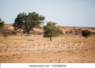 A herd of springbok antelope walking in a long row up the Auob riverbed in the Kgalagadi.