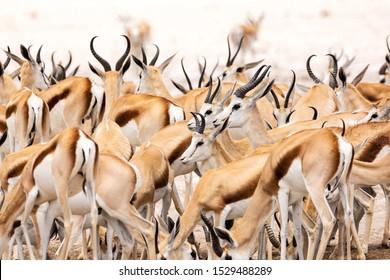 A herd of springbok antelopes standing close together, Etosha, Namibia, Africa