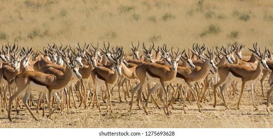 A herd of Springbok (Antidorcas marsupialis) in the Kalahari desert, South Africa
