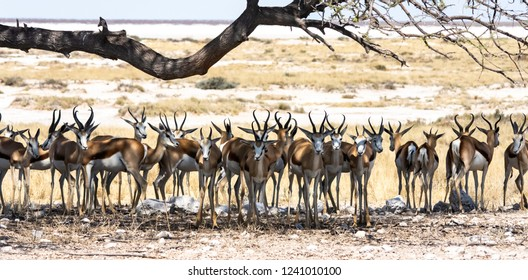 A herd of springbok shelter underneath a tree to escape the heat in Etosha National Park.