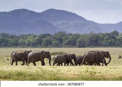 Herd of Sri lankan elephant in Minneriya ; subspecie Elephas maximux maximus