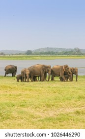 A herd of Sri Lankan elephant (the largest of four subspecies of the Asian elephant) next to a lake in the Minneriya National Park in Sri Lanka. With copy space.