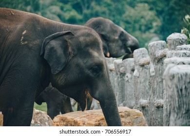 A herd of Sri Lankan Elephants near Kegalle in Central Province, Sri Lanka. The Sri Lankan elephant is one of three recognized subspecies of the Asian elephant, and native to Sri Lanka