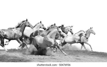 herd of stallions isolated
