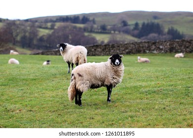 herd of swaledale sheep in yorkshire dales looking at camera