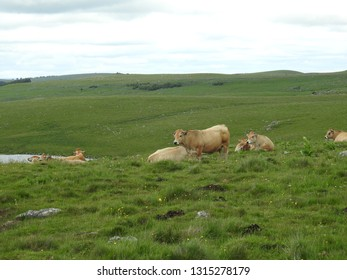 Herd of tan/brown Aubrac cattle cows resting in green pasture by lake Andeol along the Way of St James (Saint-Jacques). Picturesque panorama of pilgrimage route with cloudy sky, Lozere, France