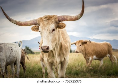 A herd of Texas Longhorn cattle in the open range country of Idaho during summer