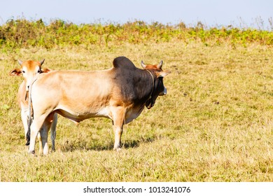 Herd of Thai domestic beef cattle grazing on green pasture