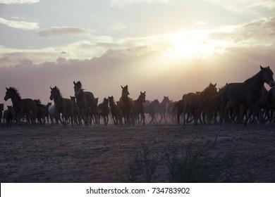 Herd of thoroughbred horses. Horse herd run fast in desert dust against dramatic sunset sky. wild horses