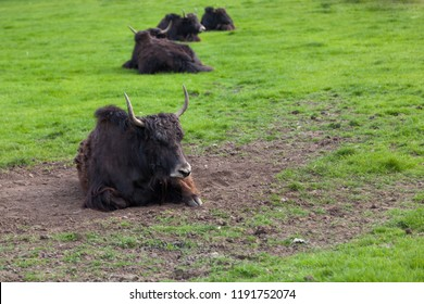 A herd of Tibetan Yacks lined up in a row in a spring field of green grass and fresh dirt for rolling in.