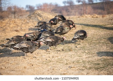 herd of turkeys in the steppe on a farm