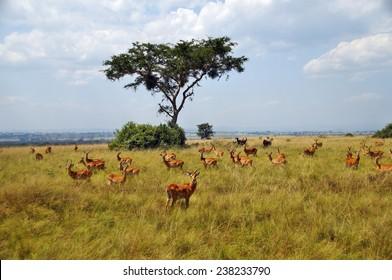 A herd of Ugandan kobs in Queen Elizabeth National Park, Uganda