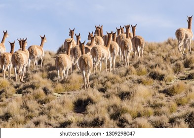 A herd of Vicuna runs off on a mountainside