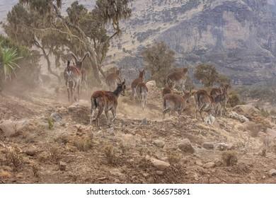 Herd of Walia Ibex running away in Simien mountains, Ethiopia