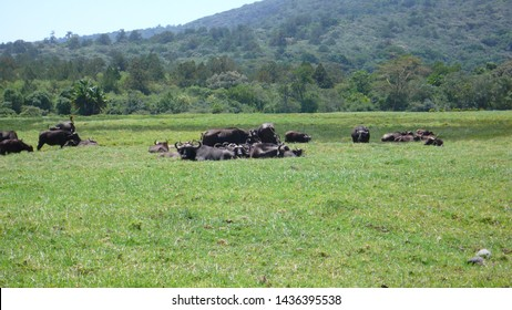 a herd of water buffalo on a grassy meadow in Arusha National Park at the foot of Mount Meru in Tanzania