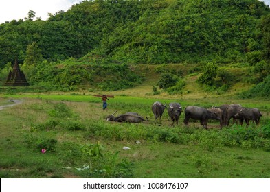 A herd of water buffaloes, a villag and a tiny stupa in the warm afternoon sun in Mrauk U, Rakhine State, Myanmar
