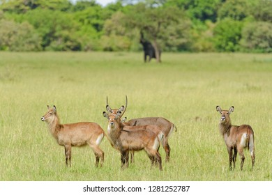 "herd of Waterbuck (scientific name: Kobus ellipsiprymnus, or ""Kuru"" in Swaheli) image taken on Safari located in Tanzania"
