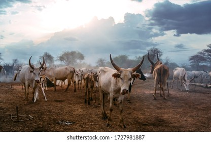 Herd of white Ankole Watusi cows grazing on pasture of Mundari tribe village against cloudy sunset sky in South Sudan, Africa