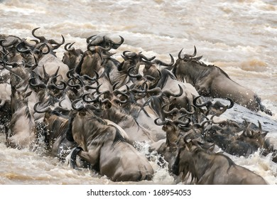 herd of white bearded wildebeest (Connochaetes tuarinus mearnsi) crossing Mara River during annual migration from  Serengeti in Tanzania to greener pastures of  Masai Mara  in Kenya