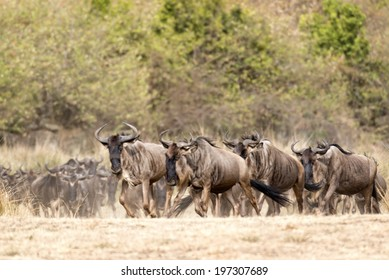 herd of white bearded wildebeest (Connochaetes tuarinus mearnsi)  during annual migration from  Serengeti National Park in Tanzania to greener pastures of  Maasai Mara National Reserve, Kenya