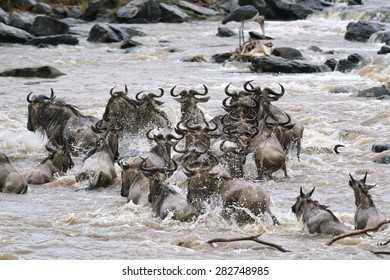 herd of white bearded wildebeest (Connochaetes tuarinus mearnsi) crossing Mara River during annual migration from Tanzania to Masai Mara National Reserve, Kenya