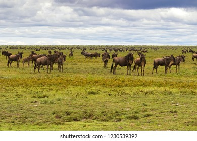 Herd of White Bearded Wildebeest migration,  Brindled gnu Antelope in Serengeti Plains at Serengeti National Park in Tanzania, East Africa