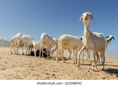 Herd of white and black sheep on the beach of Yoff, Senegal