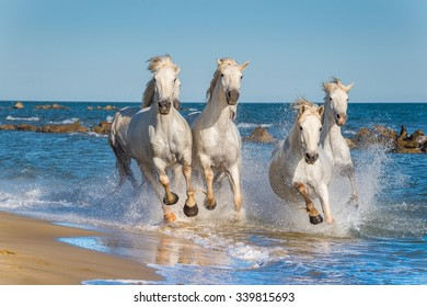 Herd of White Camargue Horses galloping through water in sunset light. Parc Regional de Camargue - Provence, France