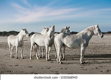 herd of white horses near the sea